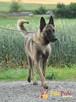 ARSEN-przepiękny owczarek belgijski szuka dobrego, aktywnego - 8