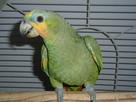 Papugi - 2