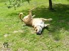 pies do adopcji - Pies gowin szuka domu - 3