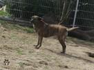 Pies do adopcji - Tigra szuka dobrego domu - 3