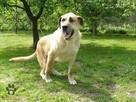 pies do adopcji - Pies gowin szuka domu - 1