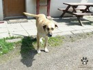 pies do adopcji - Pies gowin szuka domu - 2