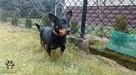 Pies do adopcji - Czerk szuka dobrego domu - 2