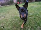 Pies do adopcji - Czerk szuka dobrego domu - 3