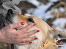 ORSEY-starszy,spokojny,niewidomy kochany owczarek prosi oDOM - 2