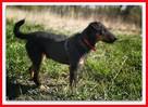 jagdterier mix, średni,przyjazny pies do spokojnego domu, - 2