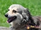 LIMBUSIA-cudowna, bardzo kochana, niewielka kudłata sunia-ADOP - 4
