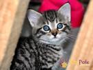 NARCYZEK-super kochany, wspaniały, piękny kociak-7 tygodni- - 4