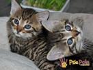 AKSAMITEK-kochany, maleńki słodki kociak-7-8 tygodni-adopcja - 5