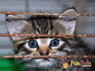 NARCYZEK-super kochany, wspaniały, piękny kociak-7 tygodni- - 1