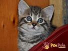 DALIA-cudowna, kochana maleńka kicia-7-8 tygodni-szukamyDOMU - 3