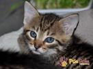 AKSAMITEK-kochany, maleńki słodki kociak-7-8 tygodni-adopcja - 8