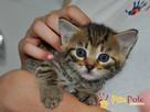 AKSAMITEK-kochany, maleńki słodki kociak-7-8 tygodni-adopcja - 1