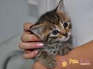 AKSAMITEK-kochany, maleńki słodki kociak-7-8 tygodni-adopcja - 7