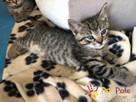 NARCYZEK-super kochany, wspaniały, piękny kociak-7 tygodni- - 6