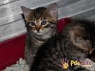 AKSAMITEK-kochany, maleńki słodki kociak-7-8 tygodni-adopcja - 6