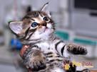 NARCYZEK-super kochany, wspaniały, piękny kociak-7 tygodni- - 2