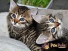 NARCYZEK-super kochany, wspaniały, piękny kociak-7 tygodni- - 3