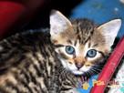 NARCYZEK-super kochany, wspaniały, piękny kociak-7 tygodni- - 5