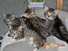 AKSAMITEK-kochany, maleńki słodki kociak-7-8 tygodni-adopcja - 4
