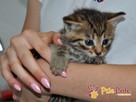 AKSAMITEK-kochany, maleńki słodki kociak-7-8 tygodni-adopcja - 3