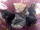 7 tyg. sliczne kociaczki ado adopcji Na Psią Łapę