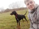 Toro ok.2 letni pies w typ dobermana do adopcji Joanna Koc - 7