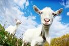 Kozy/koziołki Karpackie - licencja/doplaty