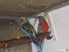 Przyjmę papugi nierozłączkie aleksandretty i kanarki - 2