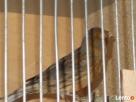 Przyjmę papugi nierozłączkie aleksandretty i kanarki - 6