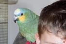 Przyjmę papugi nierozłączkie aleksandretty i kanarki - 3