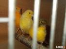 Przyjmę papugi nierozłączkie aleksandretty i kanarki - 5