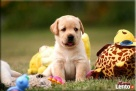 Mamy szczenięta rasy Labrador Retriever Chynów