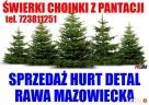 Świerk Pospolity Zwykły SREBNY Choinka ŚWIERKI CHOINKI - 1