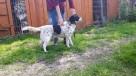 Drop młody,wesoły pies do adopcji - 3