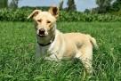 Horan pies do adopcji Son.Przyj - 2