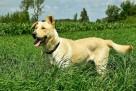 Horan pies do adopcji Son.Przyj - 1