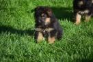 szczeniaki owczarek niemiecki - 2
