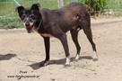 Pirat - młody psiak szuka domu - 3