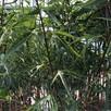 Klon pospolity PALDISKI 140-160cm drzewa ozdobne sadzonki - 2