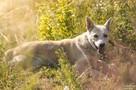 Przepiękny pies czeka na wyjątkową osobę! - 3