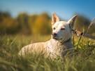 Przepiękny pies czeka na wyjątkową osobę! - 2