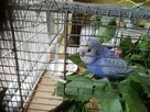 Papuzka falista do oddania