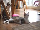 Solinka - kot domowy czy manul - 13