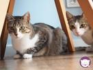 Solinka - kot domowy czy manul - 9