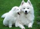 Kupię psa rasy samoyed spoza miotu