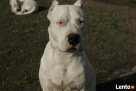 Reproduktor Dogo Argentino,Dog Argentyński-krycie Katowice