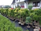 Bonsai kule na pniu różne odmiany różne formy 55zł Tarnów