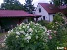 Dom w hortensjach Pruszcz