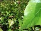 Brzoza brodawkowata, sadzonki brzozy. Rzezawa